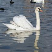 A white swan — Stock Photo
