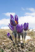 Flowers Pulsatilla patens — Stock Photo