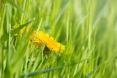 Dandelion flowers — Stockfoto