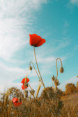 赤いケシ — ストック写真