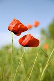 Beautiful flowers of red poppy — Stock Photo