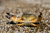 Stone Crab (Eriphia verrucosa) — Stock Photo