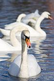 Beautiful white swans — Stock Photo