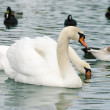 Floating swan — Stock Photo #4736628