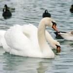Floating swan — Stock Photo