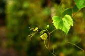 Druif twig — Stockfoto