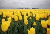 Tulipes — Photo