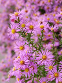 Asters — Photo