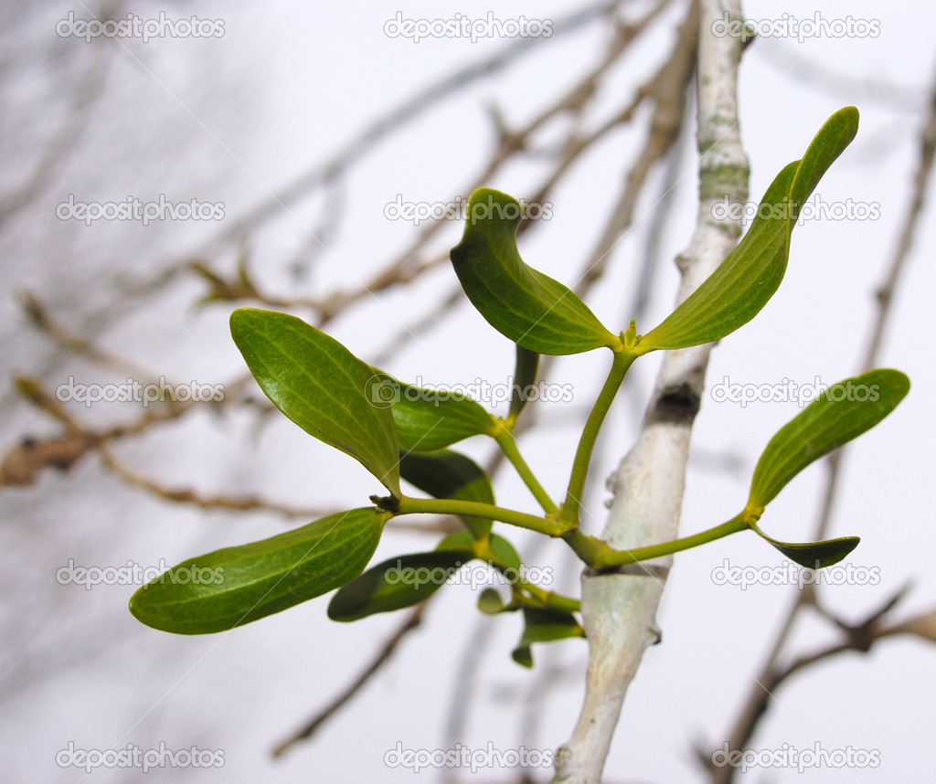 Mistletoe on the poplar twig — Stock Photo #4275444