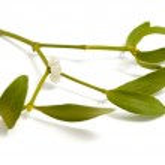 Mistletoe twig — Stock Photo #4305344