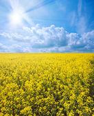 Brassica napus — Stock Photo