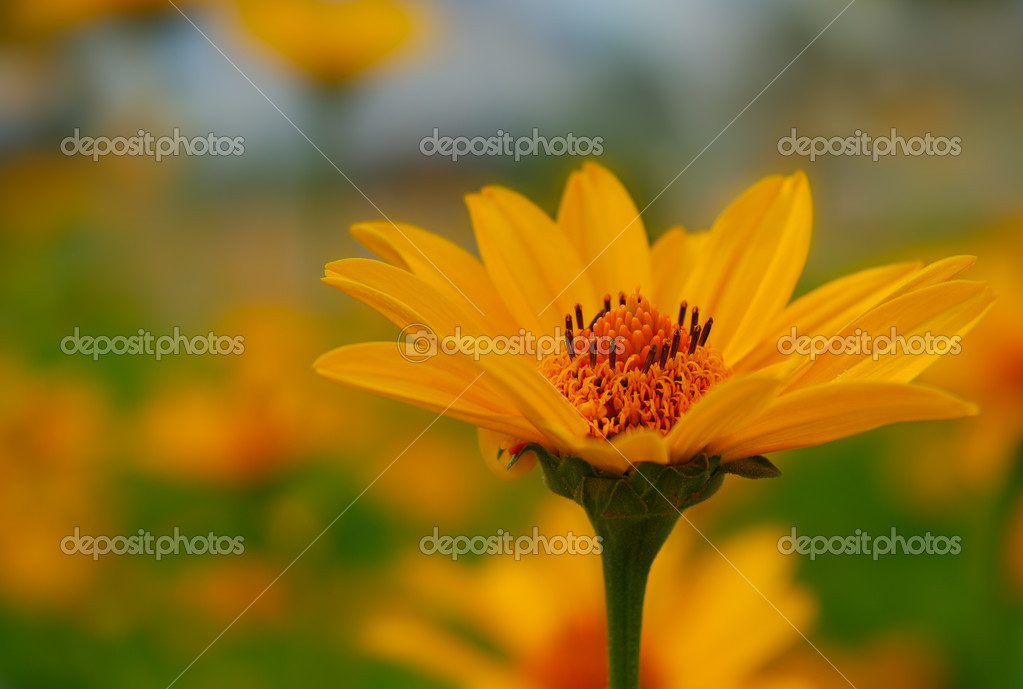 Black-eyed Susan over green background, Rudbeckia — Stock Photo #4408969