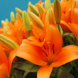 Lilies — Stock Photo #4492741
