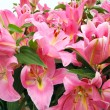Lilies — Stock Photo #5020721
