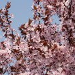 Foto Stock: Japanese cherry