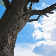 Stock Photo: Oak and skyscape