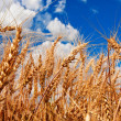 Ears of wheat and cloudy sky — Stock Photo