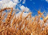 Espigas de trigo y cielo nublado — Foto de Stock