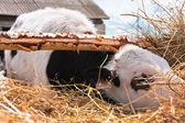 The calf — Stock Photo