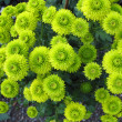 Chrysanthemum — Stock Photo #4356357