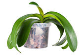 Growing orchid plant — Stock Photo