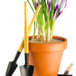 Stock Photo: Crocuses and garden tools