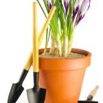 Crocuses and garden tools — Stock Photo