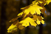 Yellow leaves — Stock Photo