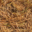 Stock Photo: Golden pine needles on ground