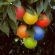 Royalty-Free Stock Photo: Bunch of multicolored oranges hanging on a tree