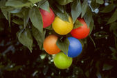 Bunch of multicolored oranges hanging on a tree — Stock Photo