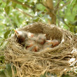 Hatchling baby birds in nest — Stock Photo