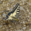 The yellow-black butterfly with bees — Stock Photo