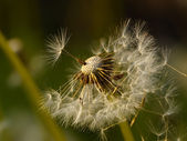 Seeds of a dandelion — Stock Photo