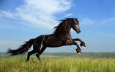 Beautiful black horse playing on the field — Стоковое фото