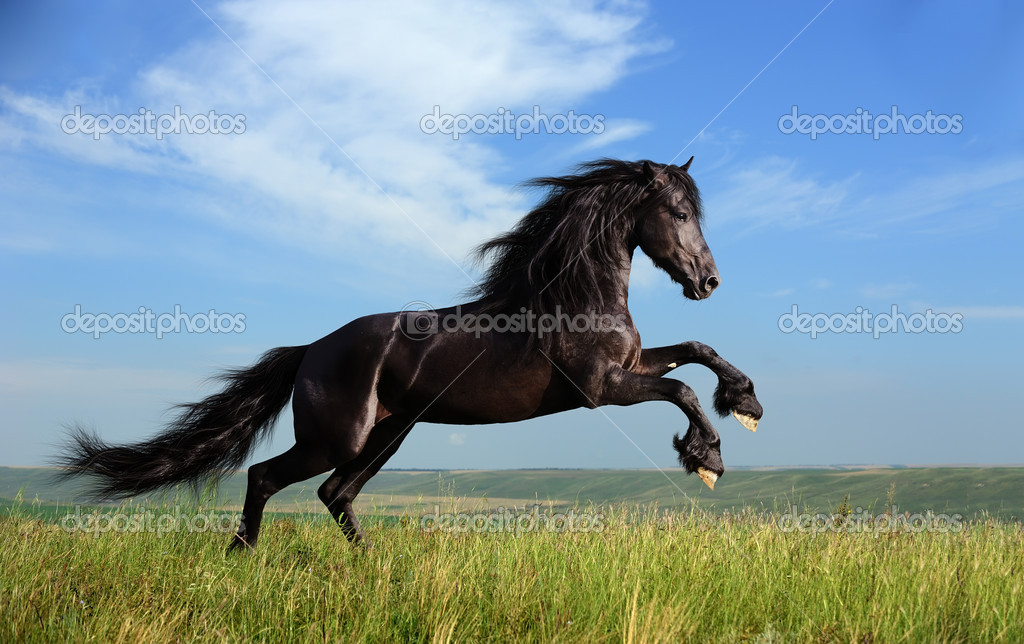Beautiful black horse playing on the field — Stock Photo #3963016