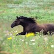 Stock Photo: Black wild horse running gallop on the field