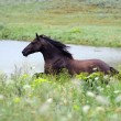 Royalty-Free Stock Photo: Black wild horse running gallop on the field