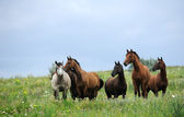 Herd of wild horses on the field — Stock Photo