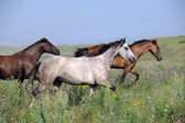 Herd of wild horses running on the field — Stock Photo