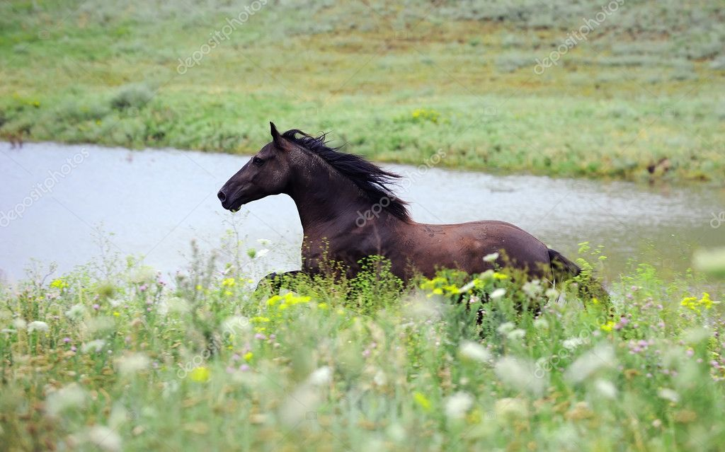 Black wild horse running gallop on the field — Stock Photo #4009541