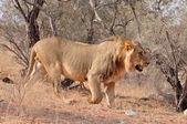 Lion (Panthera leo) — Stock Photo