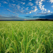 Rice field and sky - Stock Photo