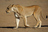 Lioness walking — Stock Photo