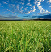 Rice field and sky — Stock Photo