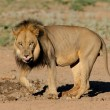 Stock Photo: Black-maned Africlion