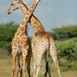 Giraffes - 