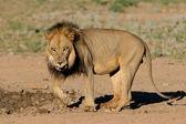 Black-maned African lion — Stock Photo