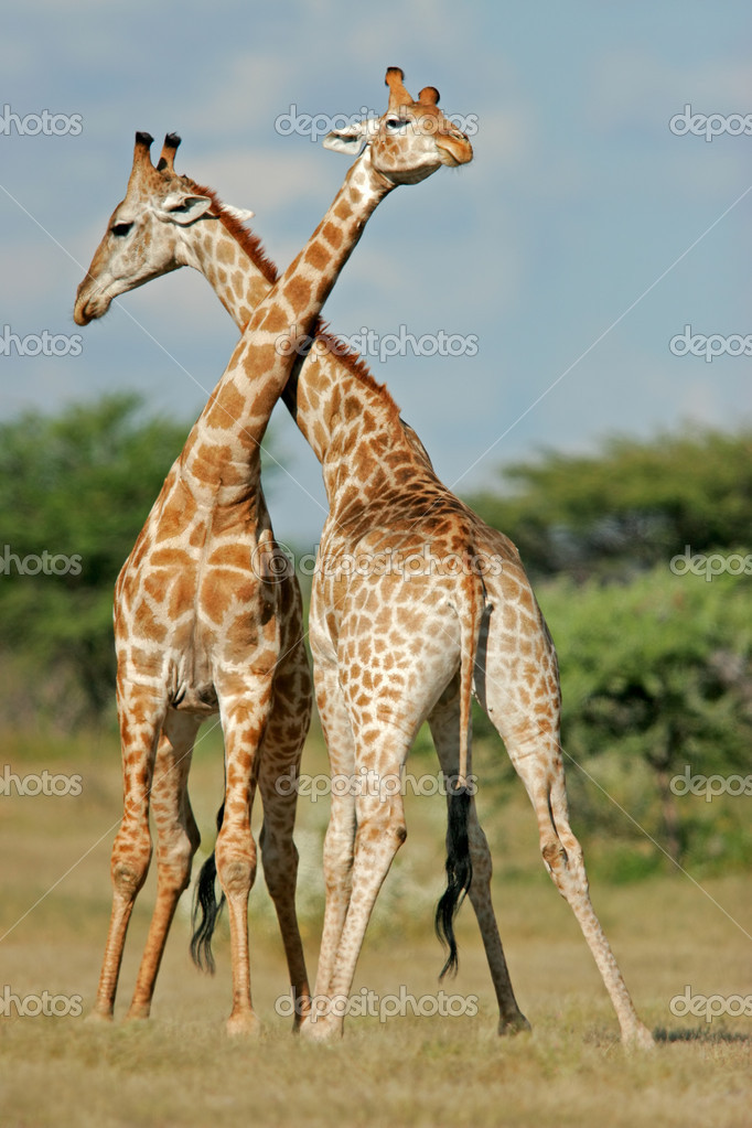 Two male giraffes (Giraffa camelopardalis) fighting, Etosha National Park, Namibia, southern Africa  	 — Stock Photo #4035759