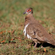 Partridge pigeon — Stock Photo